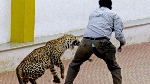 Seekor macan tutul di pabrik mobil India dijinakkan