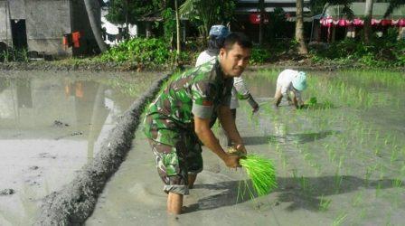 Babinsa Ramil 01/MD Bantu Kelompok Tani Kelola Sawah di Durian
