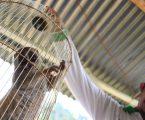 KPHSU Serahkan Hewan Yang Dilindungi Ke BKSDA Sumatera Utara