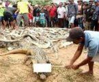 Meski 1 Pelaku Sudah Tertangkap, Namun Polda Papua Barat Masih Menyelidiki Para Pelaku Lain Pembantaian 292 Ekor Buaya di Penangkaran