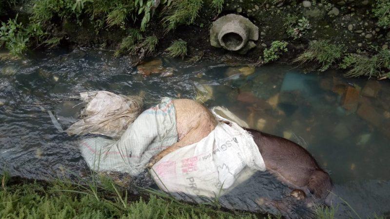Heboh, Bangkai Babi Ditemukan Warga Jalan Pembangunan Kelurahan Helvetia Timur Dibuang Dalam Parit