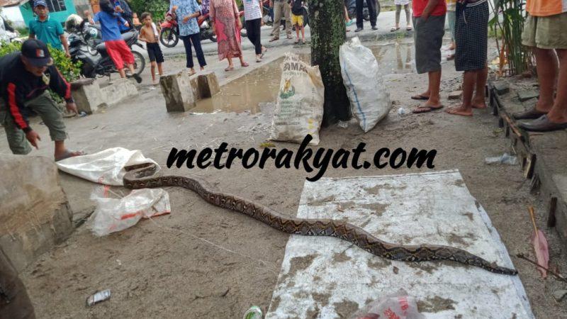 Heboh, Ular Sanca Ditemukan Warga Kecamatan Tanjung Beringin
