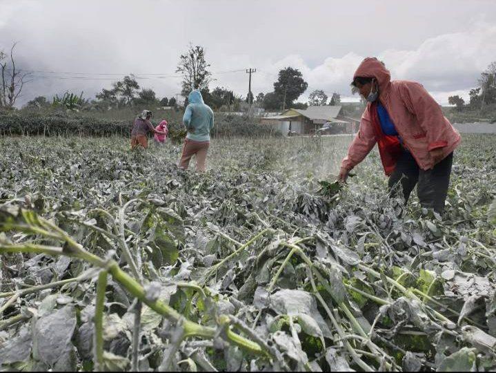 Dampak Letusan Gunungsinabung, Debu Vulkanik Tutup Ribuan Hektar Tanaman, Pertanian di Karo Rusak