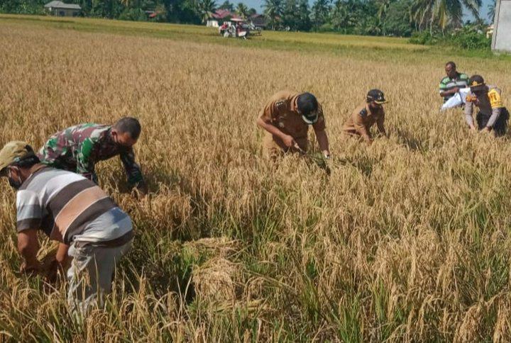 Kekompakan Babinsa, Bhabinkamtibmas dan Pemeritah Kecamatan Bantu Warga Panen Padi Di Desa Binaannya